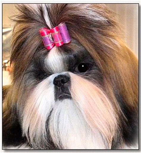 shih tzu bows shih tzu cut ii by doggie bow ties breeds picture