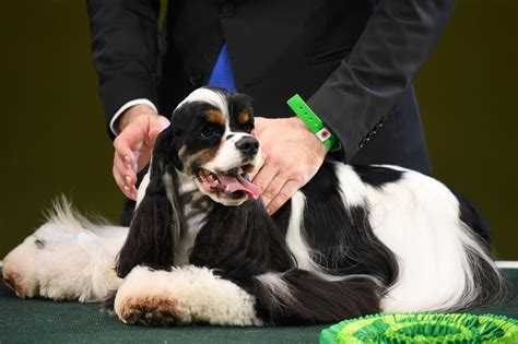 Best In Show Puppy 15kg crufts 2017 best in show top prize won by american cocker spaniel called afterglow miami ink