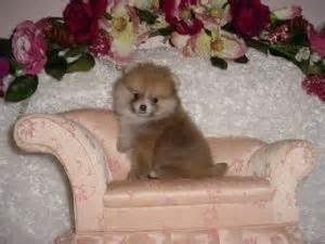 toybox pomeranians pomeranian puppies in california