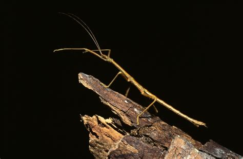 amazing stick insect giant stick bug facts photos information habitats news world most