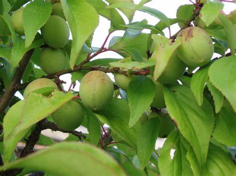 japanese plum tree fruit file fruits of japanese plum jpg