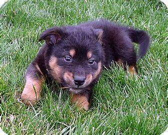 german shepherd and pomeranian mix columbus oh german shepherd pomeranian mix meet captain crunch a puppy for