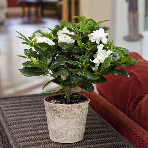 gardenia plant  distinctive birch container
