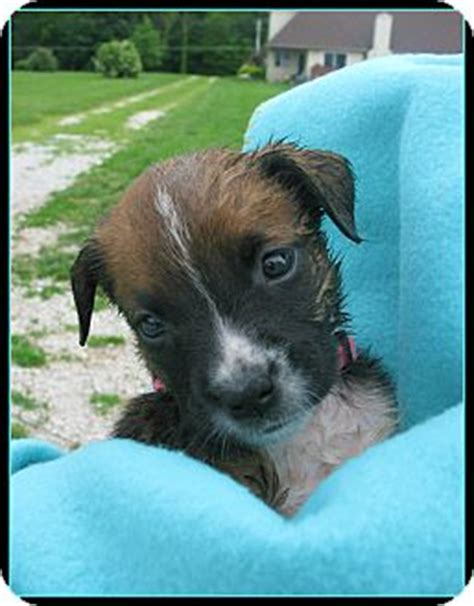 boxer puppies indianapolis cydney adopted puppy indianapolis in boxer australian cattle mix