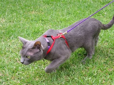 how to your to walk on the lead how to your cat to walk on a lead