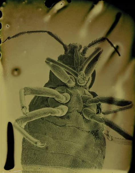 are bed bugs contagious person to person artist marcus desieno takes photos of parasites and some are eerily smiling metro
