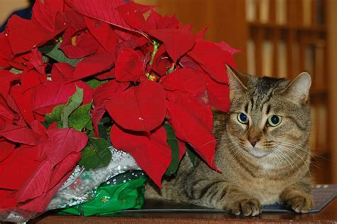 are christmas trees poisonous to cats 6 plants that are toxic for cats and dogs