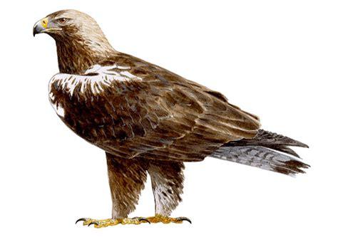 imagenes de aguilas sin fondo 193 guila imperial ib 233 rica seo birdlife