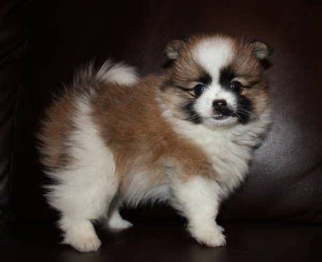 pomeranian parti akc parti pomeranian puppies for sale pets