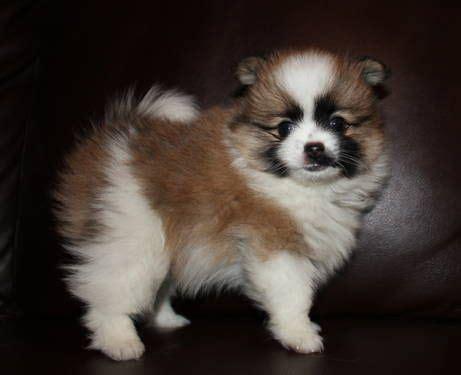 akc pomeranian puppies for sale akc parti pomeranian puppies for sale pets