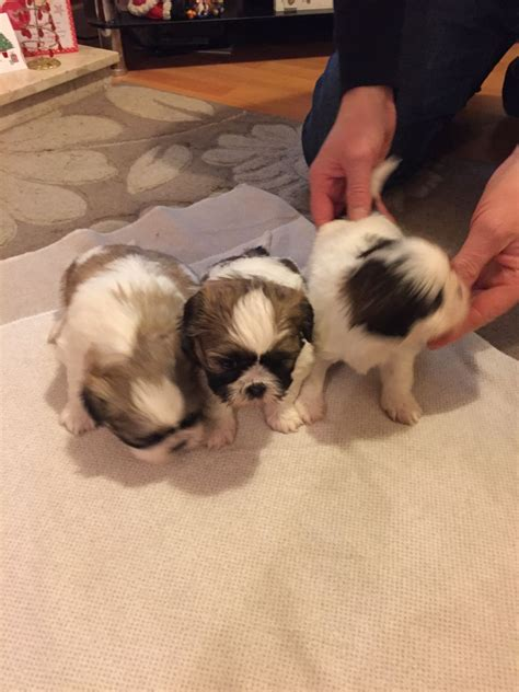 shih tzu birmingham shih tzu puppies birmingham west midlands pets4homes