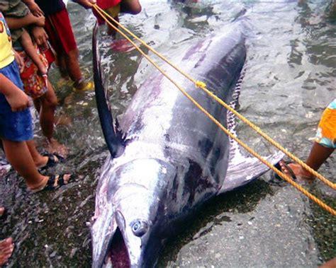 Firshing Anting biggel s banot and his blue marlin story marinduque rising