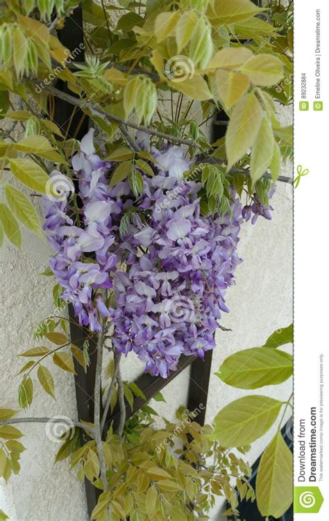 copy right free pictures of purple wisteria wisteria stock photo image 89232884