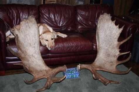 Moose Antler Sheds For Sale by Large Moose Racks For Sale And Moose Antler Sets