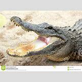 Alligator Mouth Open Drawing | 1300 x 957 jpeg 201kB
