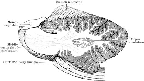 Sagittal Cross Section by Sagittal Section Clipart Clipground