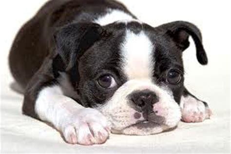 boston terrier puppies nj westchester puppies boston terrier puppies