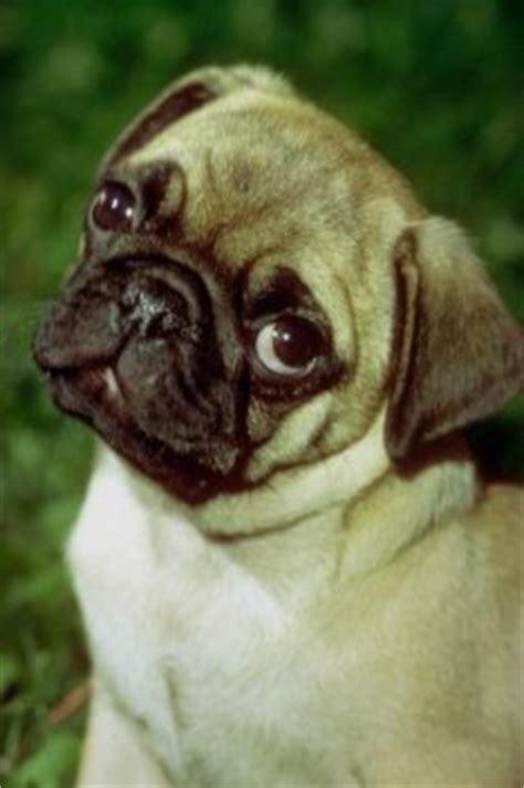 pug puppies health problems pug health problem canine health problems adopt a pug pug care