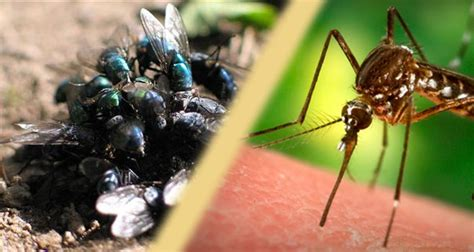 mosquitoes and flies enemies of health theworlddayshare