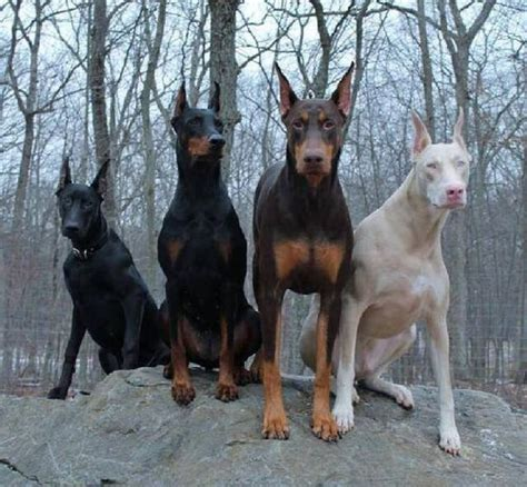 doberman colors 25 best ideas about doberman pinscher on