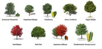 types of trees 17 best images about trees on pinterest fraser fir weed types and types of