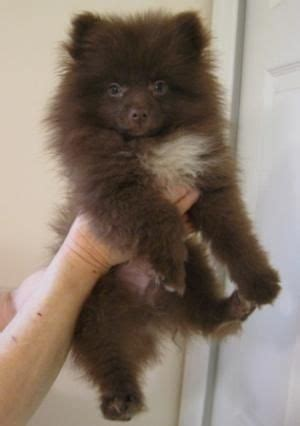 chocolate pomeranian puppy 17 best ideas about pomsky for sale on pomsky for sale pomsky puppies