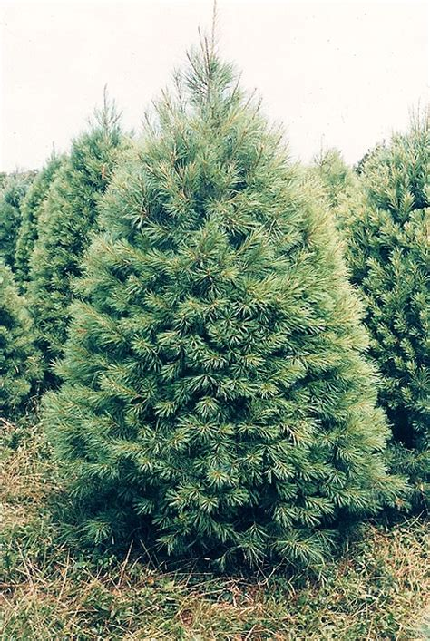 our trees salsberry christmas trees