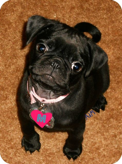 cutest pug puppy in the world the cutest pug puppy in the whole world adorable animals the o jays