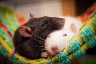 get the facts on keeping rats as pets