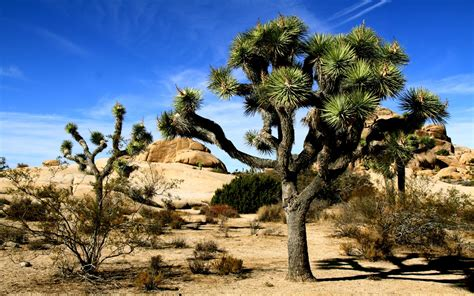 Joshua Tree joshua tree national park wallpapers hd