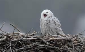 owls on cape cod snowy owl