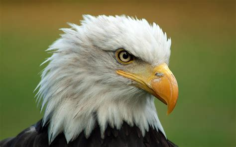 wallpaper iphone eagle free bald eagle wallpapers wallpaper cave