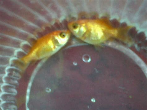 make new year goldfish i some of goldfish species that i make as pet but
