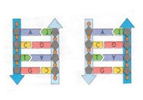 Bio Di Watson il dna la scoperta di watson e crick la struttura dna la duplicazione dna