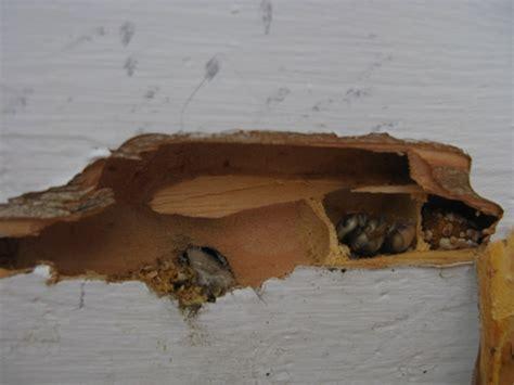 carpenter bee house carpenter bees massachusetts home inspections