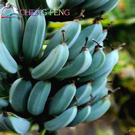 tattoo prices at blue banana 50 graines bag banana seed fruit seeds rare big hainan