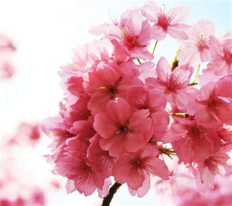 immagini fiori di ciliegio giapponese fiore di ciliegio significato dei fiori