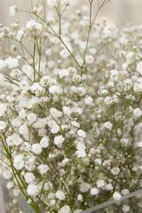 baby s breath pet poison helpline baby s breath flower toxicity to pets
