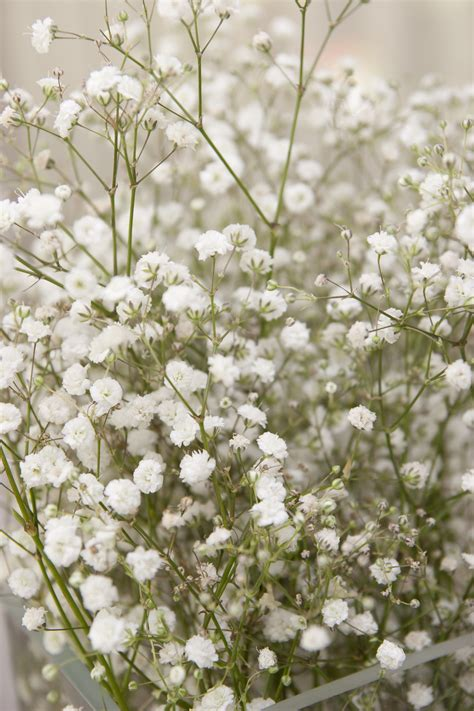 pet poison helpline baby s breath flower toxicity to pets