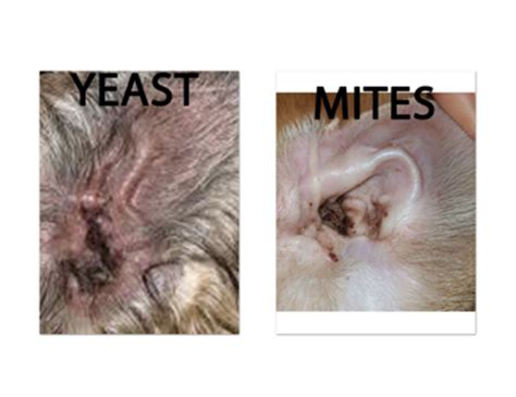 how do dogs get ear infections ear mites vs yeast infection