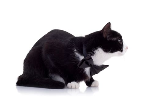 black and white breeds cat breeds black and white cats types