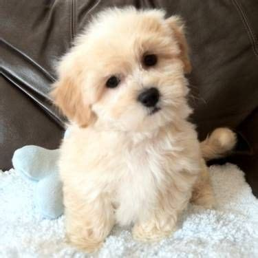 shih tzu teddy mix 1000 images about bichons my on toys pets and puppys