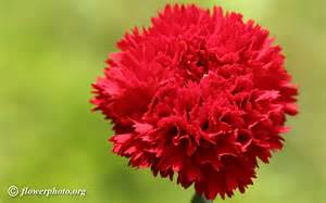 Carnation Flowers Red Carnation Flower Picture