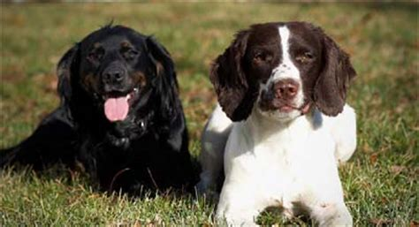 field spaniel puppies for sale spaniel field trial breeders with cocker springer spaniels puppies started dogs