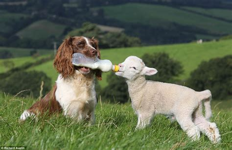 lambs farm puppies meet the ultimate sheepdog springer spaniel jess rounds up the lambs and feeds them