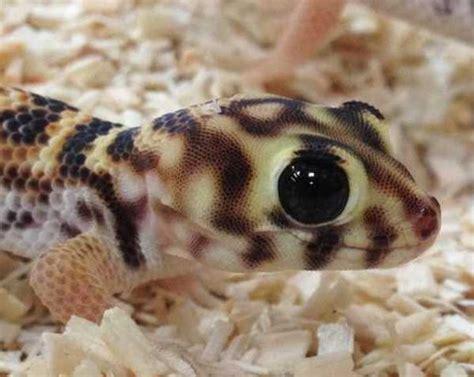 Tokek Tokek jenis dan harga tokek gecko hias binatang peliharaan