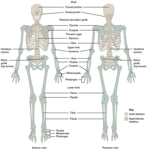 human skeletal system diagram 7 1 divisions of the skeletal system anatomy and physiology