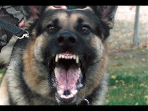 my attack dog super scary german shepherd beware of dog