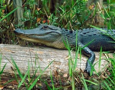 what color are alligators alligator alligator mississippiensis animals a z animals