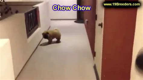 puppies for sale in anchorage chow chow puppies dogs for sale in anchorage alaska ak 19breeders fairbanks